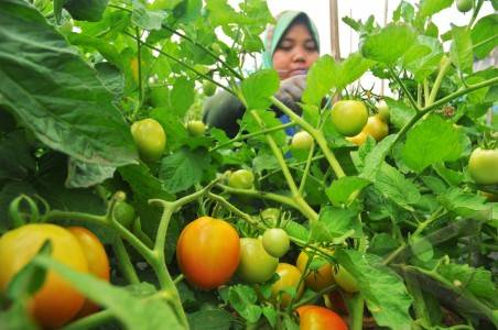 panen-budidaya-tomat-dalam-polybag