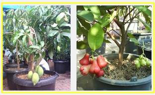 buah-yang-cocok-di-tanaman-dalam-pot