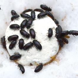 semut jepang 3